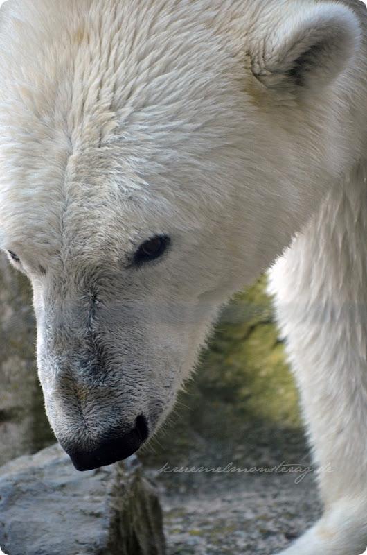 Wremen 20zwölf Tag 6 Zoo am Meer - Eisbär