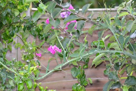 Everlasting Sweet Pea - Perennial Sweet Pea - Lathyrus latifolius 2