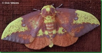 ImperialMoth-Simons