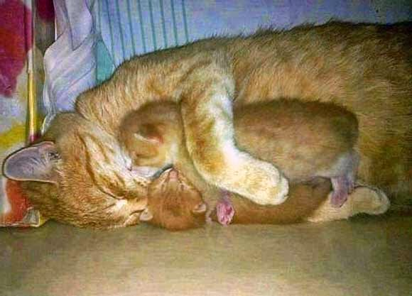 Mother cat cuddles her two kittens