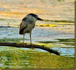fl Black-crowned Night-heron_ROT3369 Bombay Hook  May 10, 2011 NIKON D3S