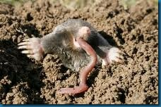moles eat worms