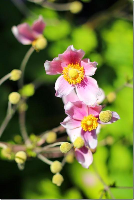 frontflower