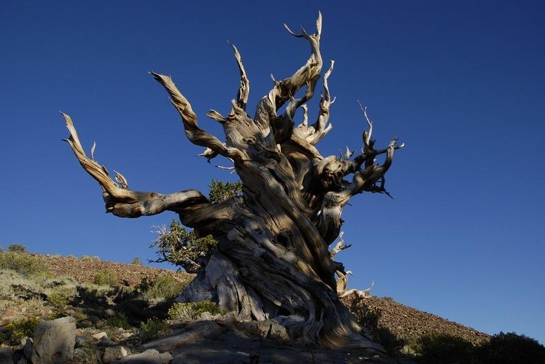 bristlecone-pines-8