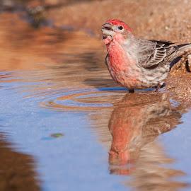Singing in the bath by Ruth Jolly - Animals Birds ( bird, nature, wildlife, finch, birds, animal, birding )