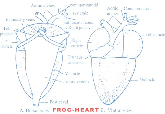 frog-heart