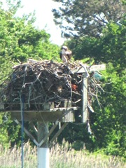 cape cod 6.12 greys beach osprey on nest