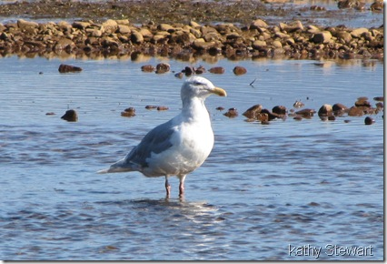 Glaucous Wing Gull