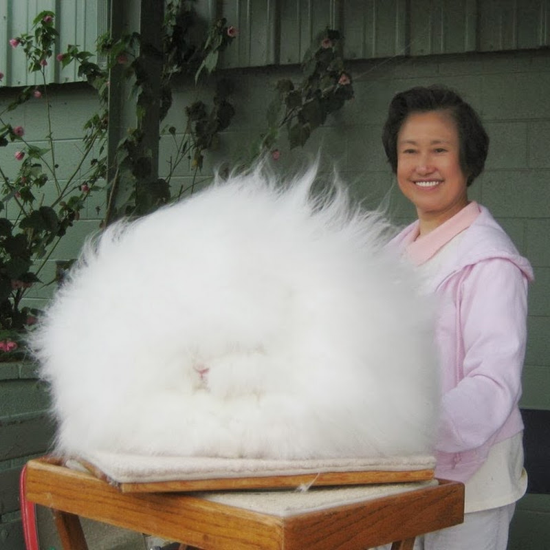 Angora Rabbit: The World's Fluffiest Bunny