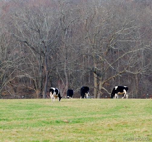 2. cows-kab