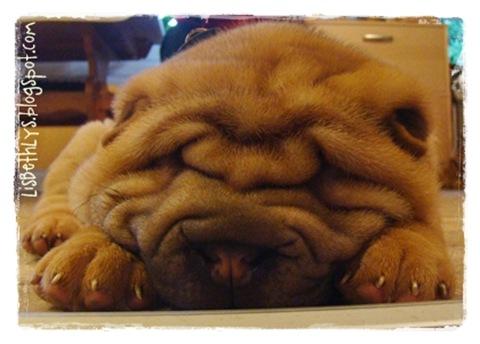 Holly 8 ½ uge ligger og snorker på stuegulvet.