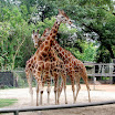 Giraffes - Audubon Zoo