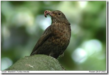 female blackbird Gerd Rossen