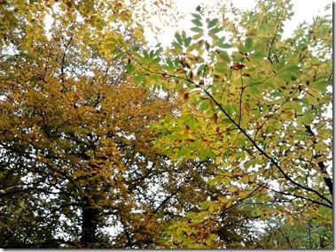 栗の木(手前)とブナの紅葉