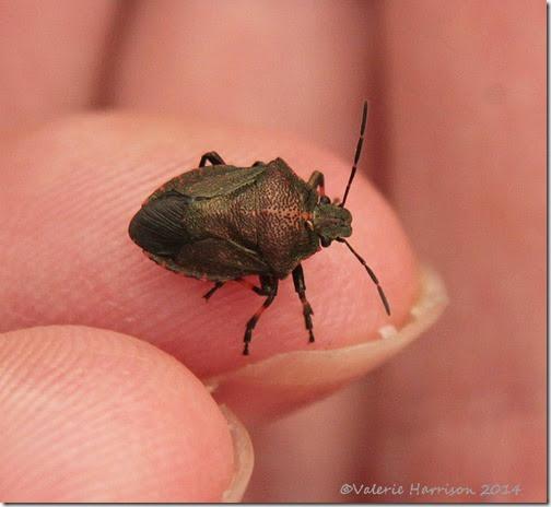 23-shieldbug-instar
