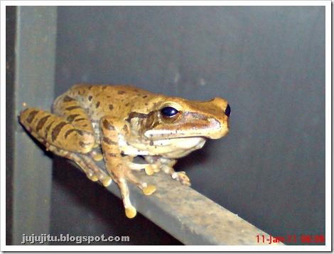 Polypedates leucomystax_Katak Pohon Bergaris_Stripped Tree Frog 1