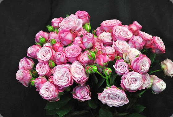 varieties Spray-Rose-Lady-Bombastic-3 Lady Bombastic drammechter dot com