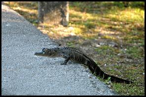 01b3 - Alligator - Little Alligator