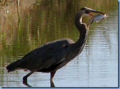 7111 Texas, South Padre Island - Birding and Nature Center - Great Blue Heron with a fish
