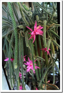 130425_Disocactus-flagelliformis_04