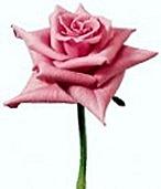 rose6a-120x140