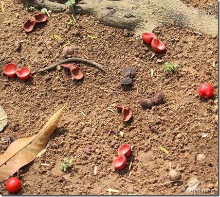 horsfieldia irya (2)
