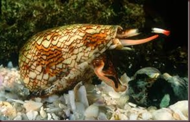 Amazing Pictures of Animals. Poison, Dangerous.3.Marbled Cone Snail.Alex