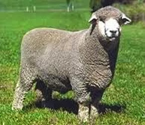 Amazing Pictures of Animals, Photo, Nature, Incredibel, Funny, Zoo, Mammals, Merino, Sheep, Alex (15)