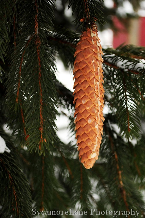 pine cone-1