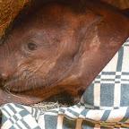 Mbegu, Sheldrick Wildlife Trust © Foto: Susanne Schlesinger | Outback Africa Erlebnisreisen