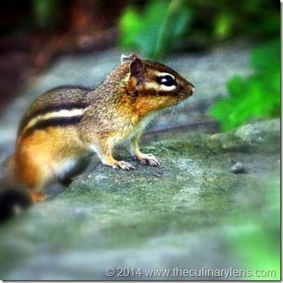 chipmunk-bronx-nybg-wildlife-nyc