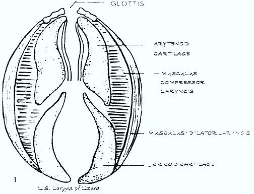 reptiles-respiration-larynx