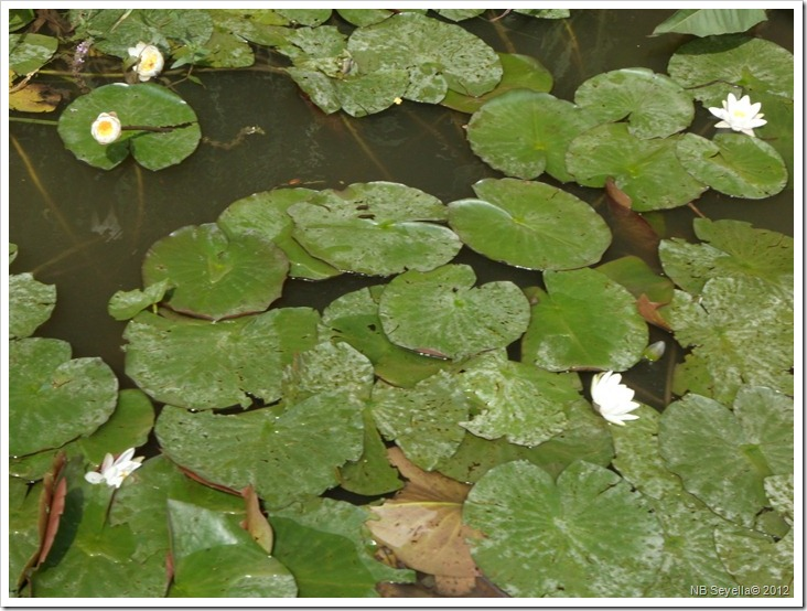 SAM_2376 Water Lilies