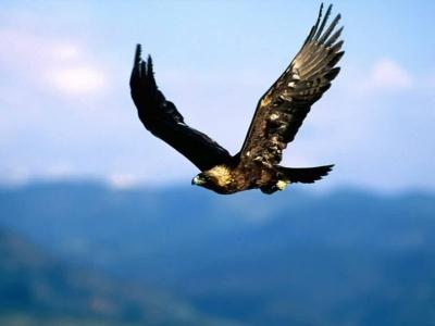 golden eagle wallpaper. wallpaper Golden Eagle in