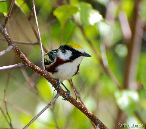 3. chestnut sided warbler-kab