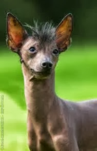 Amazing Pictures of Animals, Photo, Nature, Incredibel, Funny, Zoo, Dog, Mexican Hairless Dog, Xoloitzcuintle, Mammals, Alex (5)
