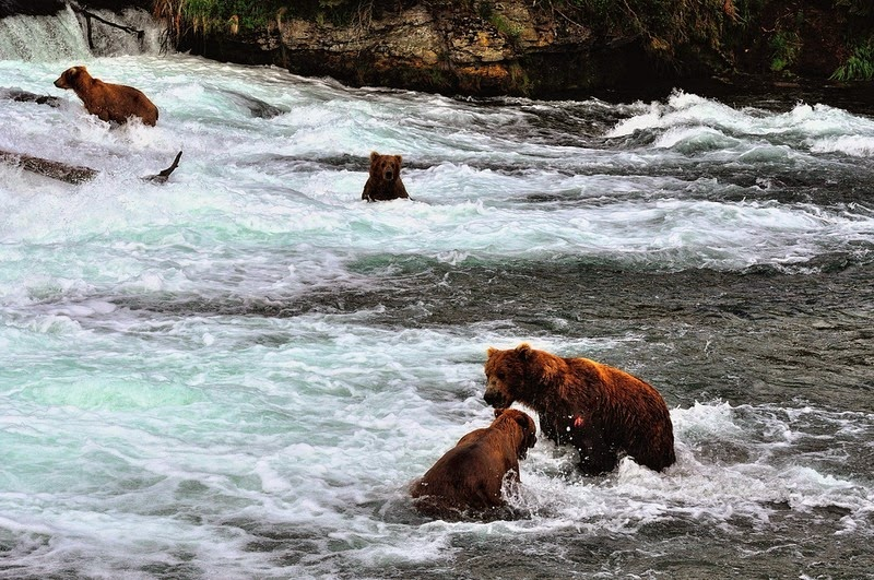 brooks-falls-bears-7