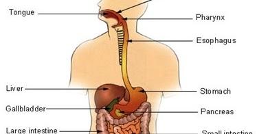 MCQ on Digestive System ~ MCQ Biology - Learning Biology through MCQs