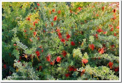 131124_UCD_Arboretum_AustralianCollection_85