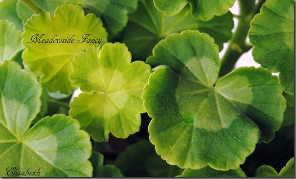 Pelargonium juni-11 043