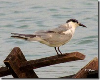 138 Whiskered Tern