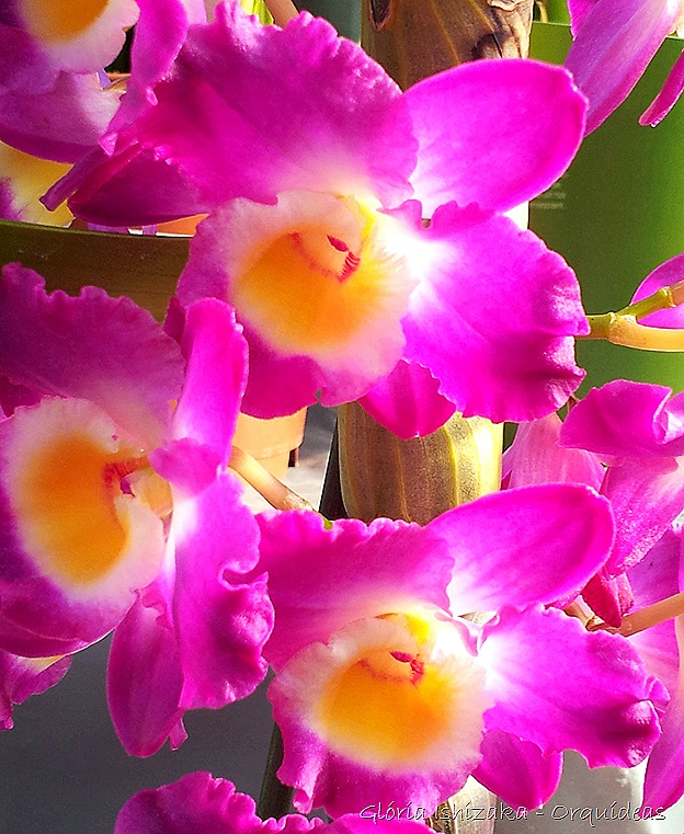 Glória Ishizaka - orquideas 38