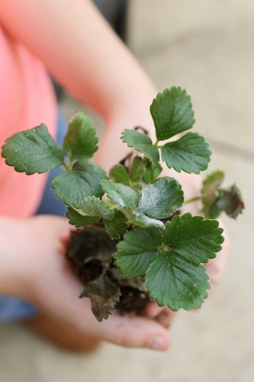 purell strawberry plant