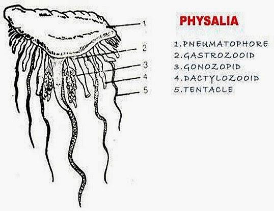 Physalia-polymorphism-cnidaria-