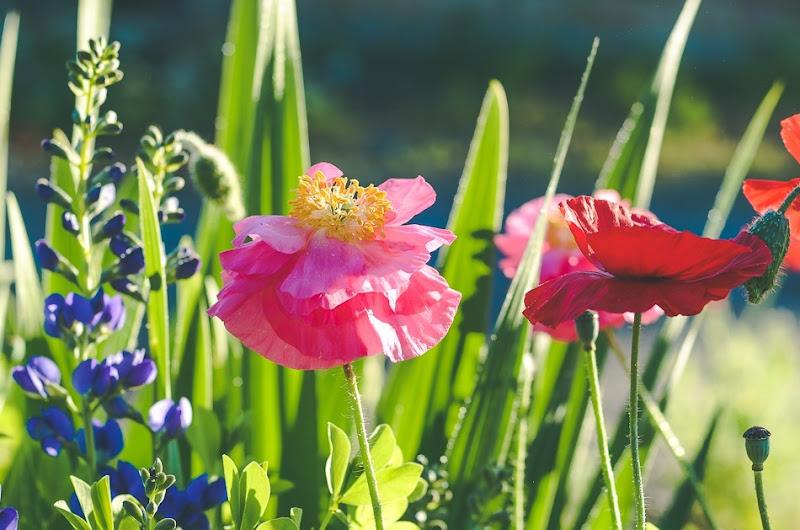 poppies-9632