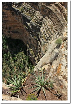 120726_Grand-Canyon-Yavapai-Point_Yucca-baccata