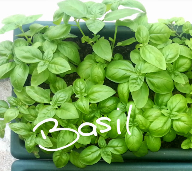 fresh basil growing in window box