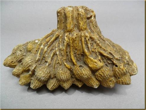 Fosil kacang tanah