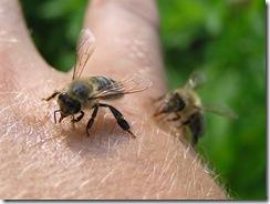 včely na květu a matečniky 116