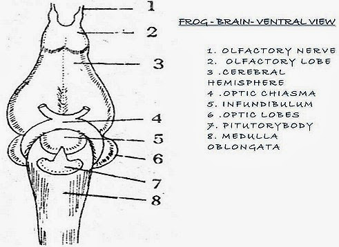 FROG-BRAIN-DIAGRAM